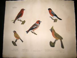 Goldfuss C1830 LG Folio Hand Colored Bird Print. Finches 304
